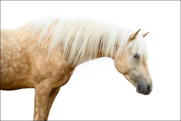 palomino horse on white background